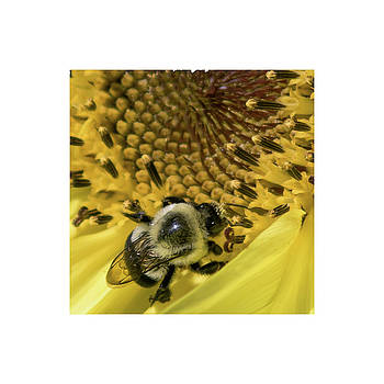 Bumble Bee on Sunflower by Chad Tracy