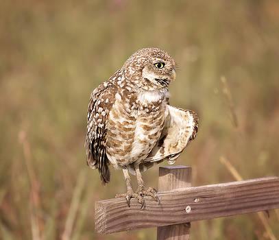 Kim Hojnacki - Cape Coral Burrowing Owl
