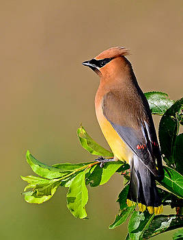 Cedar Waxwing by Rodney Campbell