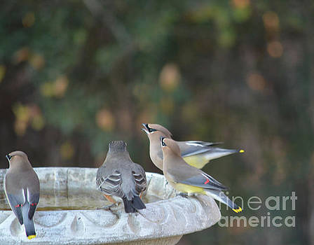 Cedar Waxwings and American Robins  by Ruth Housley