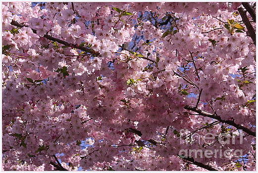 Cherry Blossom Festival by Dora Sofia Caputo Photographic Art and Design