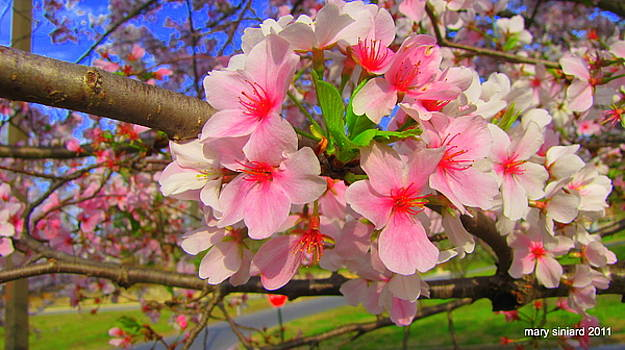 Cherry blossoms by Mary Siniard