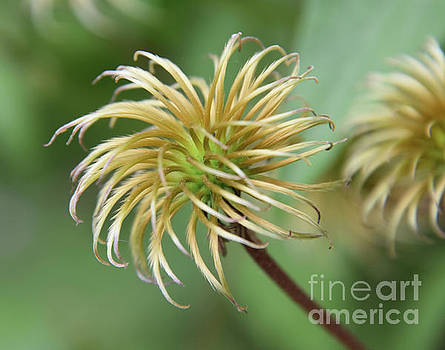 Clematis Seeds by Elvira Ladocki