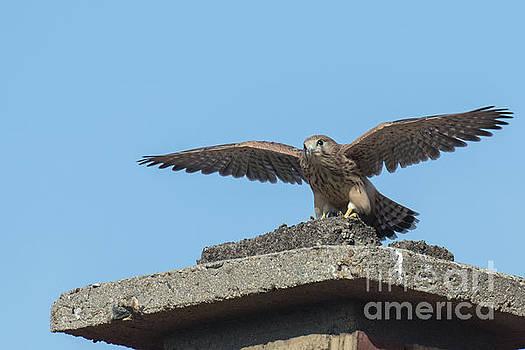 Common kestrel Juvenile - Falco tinnunculus by Jivko Nakev