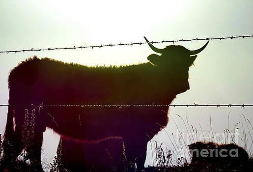 BERNARD JAUBERT - Cow