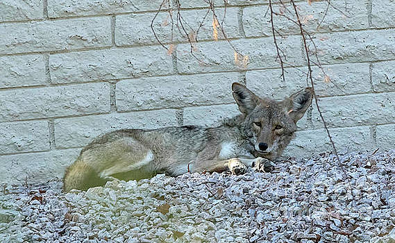 Coyote by Anne Rodkin