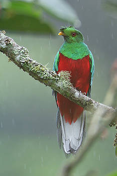 Crested Quetzal in Ecuador by Juan Carlos Vindas