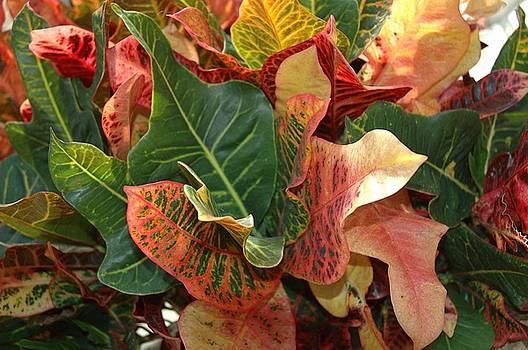 Croton by Robynne Hardison