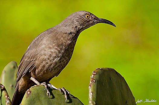 Curve-Billed Thrasher on a Prickly Pear Cactus by Jeff Goulden