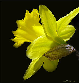 Daffodil on Black by Mikki Cucuzzo