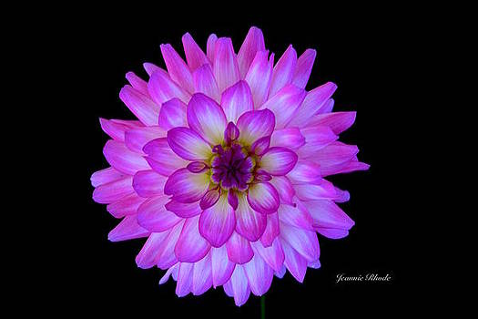 Dahlia in Pink by Jeannie Rhode Photography