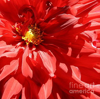 Dahlia Radiant in Red by Dora Sofia Caputo Photographic Art and Design