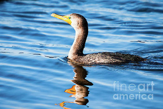 Michael McStamp - Double-crested Cormorant