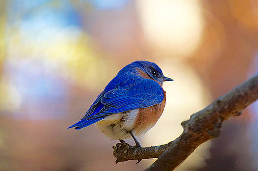 Eastern Bluebird by Robert L Jackson