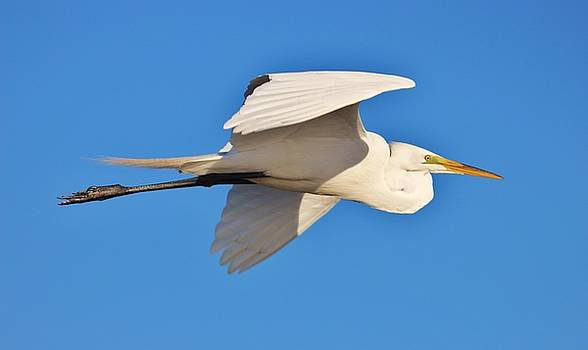 Paulette Thomas - Egret In Flight