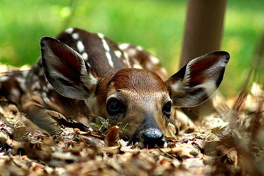 Fawn on the Lawn by Charles Shedd