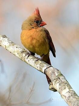 Female Cardinal by Debbie Green