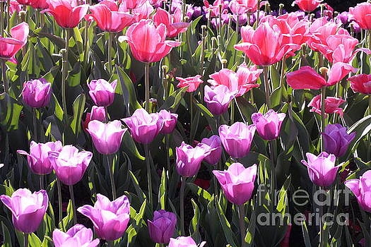 Festival of Tulips by Dora Sofia Caputo Photographic Art and Design