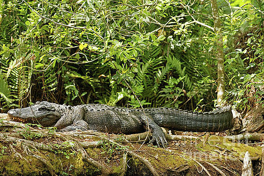 Florida Gator by Natural Focal Point Photography
