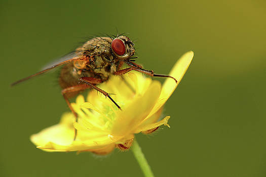 Fly on a buttercup by Jouko Mikkola