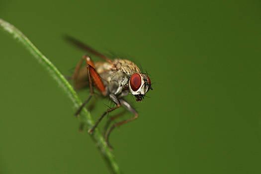 Fly on a hay by Jouko Mikkola