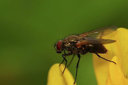 Fly on buttercup by Jouko Mikkola