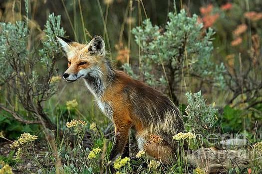Adam Jewell - Foxy Intensity