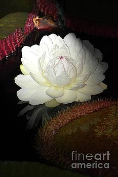 Giant Water Lily by Cindy Manero