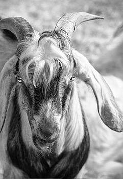 Goat by Savannah Gibbs