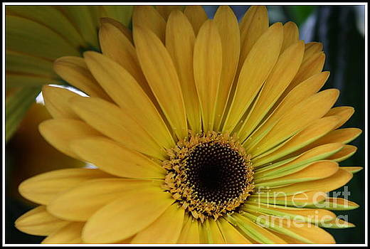 Golden Daisy by Dora Sofia Caputo Photographic Art and Design