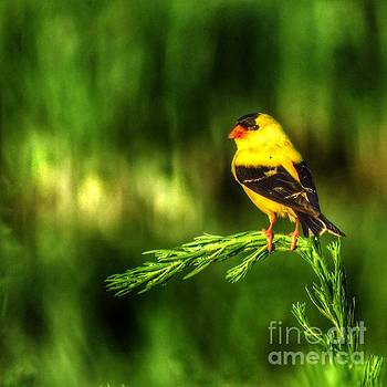 Goldfinch on Grass by Rrrose Pix