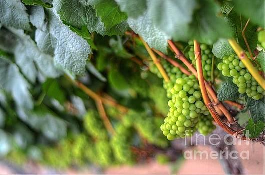 Grape Vine by Kelly Wade