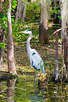Great Blue Heron by Bill