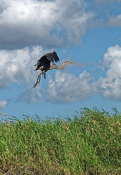 Great Blue Heron Flying by Sally Weigand