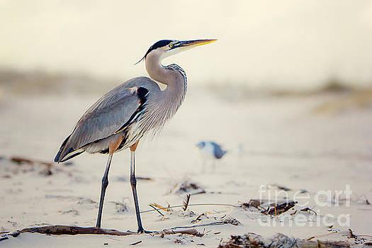 Great Blue Heron  by Joan McCool