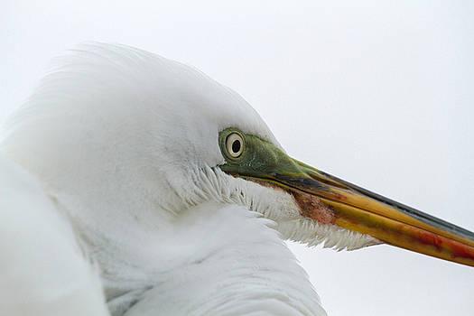 Great Egret by Toni Thomas