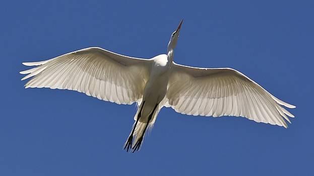Paulette Thomas - Great White Egret Soaring