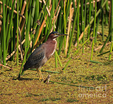 Green Heron by Louise Heusinkveld