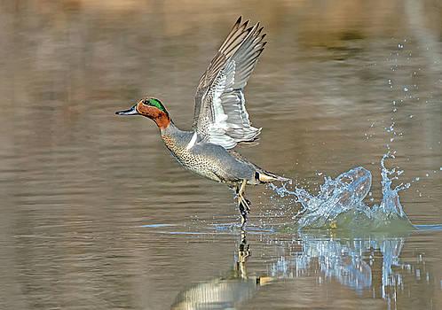 Tam Ryan - Green-winged Teal Duck