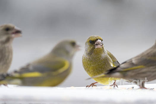 Greenfinches by Odon Czintos