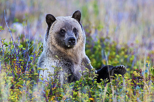 Grizzly Baby Silver by Bill Keeting