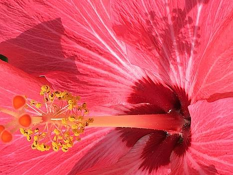 Hibiscus by Kay Gilley