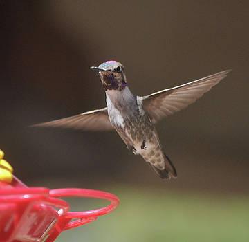 Hummingbird Anna's In Flight by Jay Milo