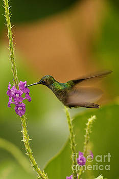Hummingbird in Costa Rica by Natural Focal Point Photography