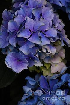 Hydrangea by Cindy Manero
