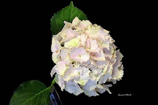 Hydrangea in Soft Pink by Jeannie Rhode Photography