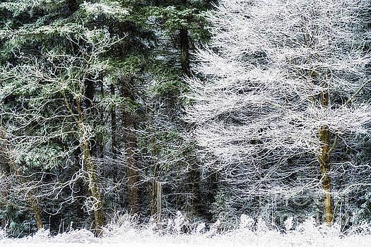 Iced Trees by Thomas R Fletcher