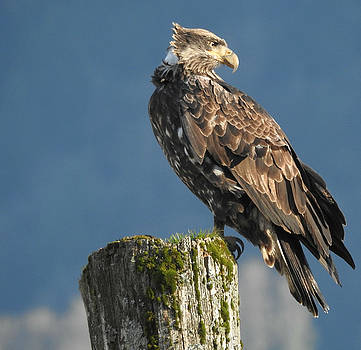 Immature Bald Eagle by Brian Chase