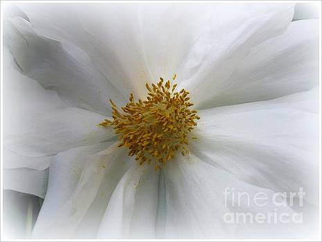 Innocence -  White Peony by Dora Sofia Caputo Photographic Art and Design
