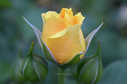 Julia Child Rose by Jeannie Rhode Photography